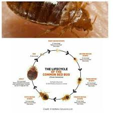 Can Bed Bugs Survive Outside If Bed Bug Eggs Hatch In A Vacant Home How Long Can The Nymphs
