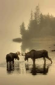220 best moose images on pinterest antlers moose art and moose