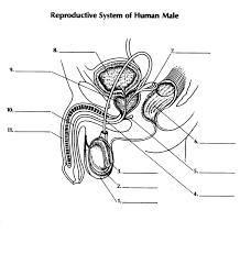 male reproductive organs diagram quiz periodic u0026 diagrams science