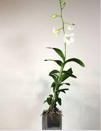 white dendrobium orchids dendrobium orchid plant