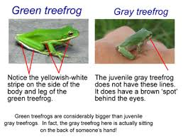 dnr green or gray treefrog