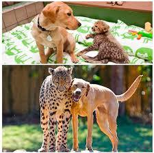 Teh Qhi cheetah and a pup are bffs rebrn