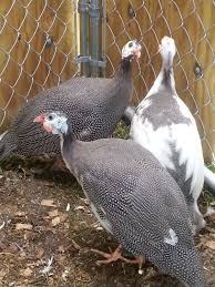 help guinea hens sneezing backyard chickens