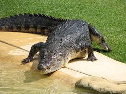 crocodile zoo jpg