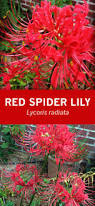 native plants in china red spider lilies lycoris radiata