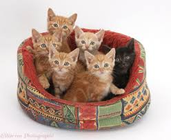Kitten Bed One Black And Five Ginger Kittens In A Soft Cat Bed Photo Wp36684