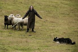 australian shepherd herding sheep in a tale that wags dog owners they rent flocks for bored collies