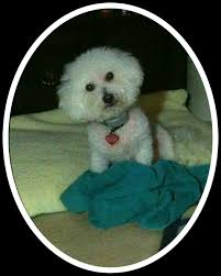 bichon frise long legs travelog u0026 dog blog bichon frise