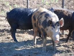wild pigs increase range threaten native wildlife mississippi
