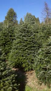 Real Christmas Trees Manchester 14 Best Hill Farms Christmas Trees Images On Pinterest Christmas