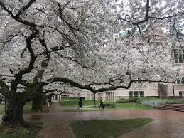 despite in seattle cherry blossoms on track for typical season