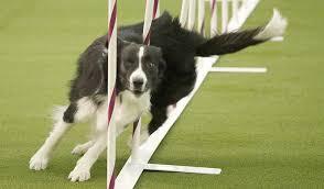 westminster australian shepherd 2014 westminster 2017 brisk border collie wins dog agility competition