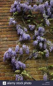 39 best wisteria images on pinterest wisteria bougainvillea and