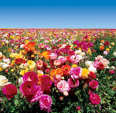 carlsbad flower garden experience a rainbow of color overlooking the pacific ocean at the