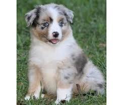 australian shepherd sale 26 best cuties images on pinterest animals australian shepherd