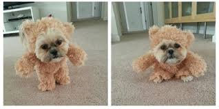 pet halloween costumes uk this shih tzu dressed as a teddy bear is the best 11 second video