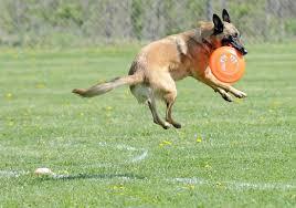 belgian shepherd vancouver what u0027s your dog u0027s type of intelligence playbuzz