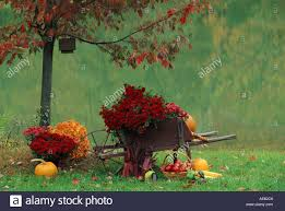 Autumn Flower Antique Wood Wheelbarrow Filled With Autumn Flower Harvest Of Red