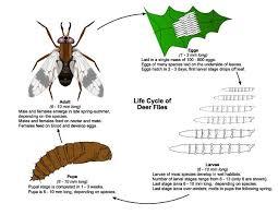 Flies In Backyard Best 25 Deer Flies Ideas On Pinterest Black Fly Natural Fly