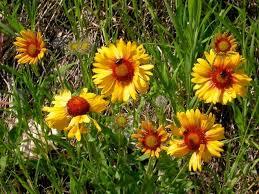 daylily alternative blanket flower gaillardia aristata grows in