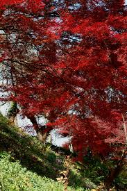 the japanese maple grafting an ornamental deciduous tree plant