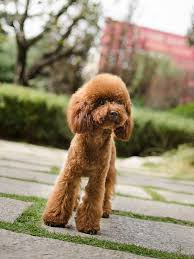hair styles at the shoodle in animal crossing new leaf 36 best poodle love images on pinterest poodles doggies and