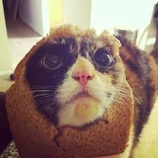 Cat Breading Meme - cat breading 101 helping pets behave animal behaviorist and
