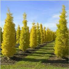 ginkgo biloba blagon with fall colour dense narrow tree here