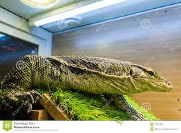 monitor lizard varanus in the terrarium stock photo image