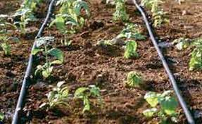 consider drip irrigation for vegetable gardens county line