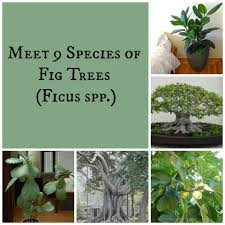 native plants of pakistan meet 9 species of fig trees