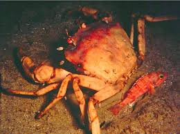 esciencecommons the case of the golden crabs cracking mysteries