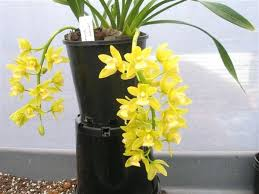 yellow orchid cymbidium pendulous jean yellow 68mm pot australian