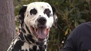 dalmatian dogs famous media content dw