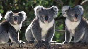 imagenes animales australia community gallery animals of australia