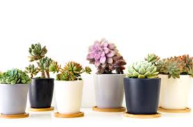 where to buy succulents in sydney sydney the list