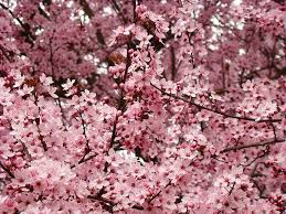Trees With Pink Flowers Spring Tree Blossoms Pink Flowering Trees Art Baslee Troutman