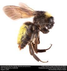 file american bumble bee female apidae bombus pensylvanicus