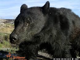 Nevada wildlife images Trail cameras grab snapshots of nevada wildlife krnv JPG