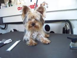 before and after yorkshire terriers short hair cut club doggie mobile grooming salon before and after photo gallery
