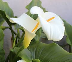 white calla lilies growing calla flower calla care