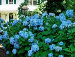 flower hydrangea all about hydrangeas plant addicts