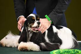 boxer dog crufts 2015 crufts 2017 best in show top prize won by american cocker spaniel