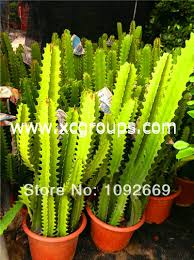plants scotland picture more detailed picture about euphorbia