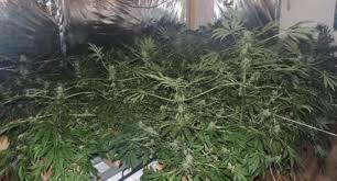 chambre de culture cannabis fait maison sa chambre était dédiée à la culture de cannabis 20 02 2015
