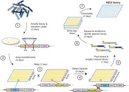 a method for high u2010throughput production of sequence u2010verified dna