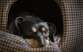 grieving the loss of a dog pets grieving the loss the other pets veterinarians coralville