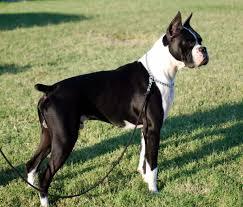 boxer dog 3 weeks pregnant boxer dogs black and white dog pinterest dog black and