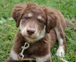 australian shepherd with german shepherd best 25 australian shepherd mix puppies ideas on pinterest
