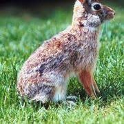 Rabbit Repellent For Gardens by How To Make Homemade Squirrel Repellent Squirrel Homemade And